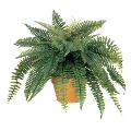 Where to rent POTTED FERN in Denver NC